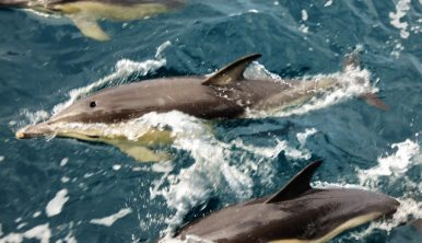Picture of dolphins by the side of a Tall Ship Morgenster